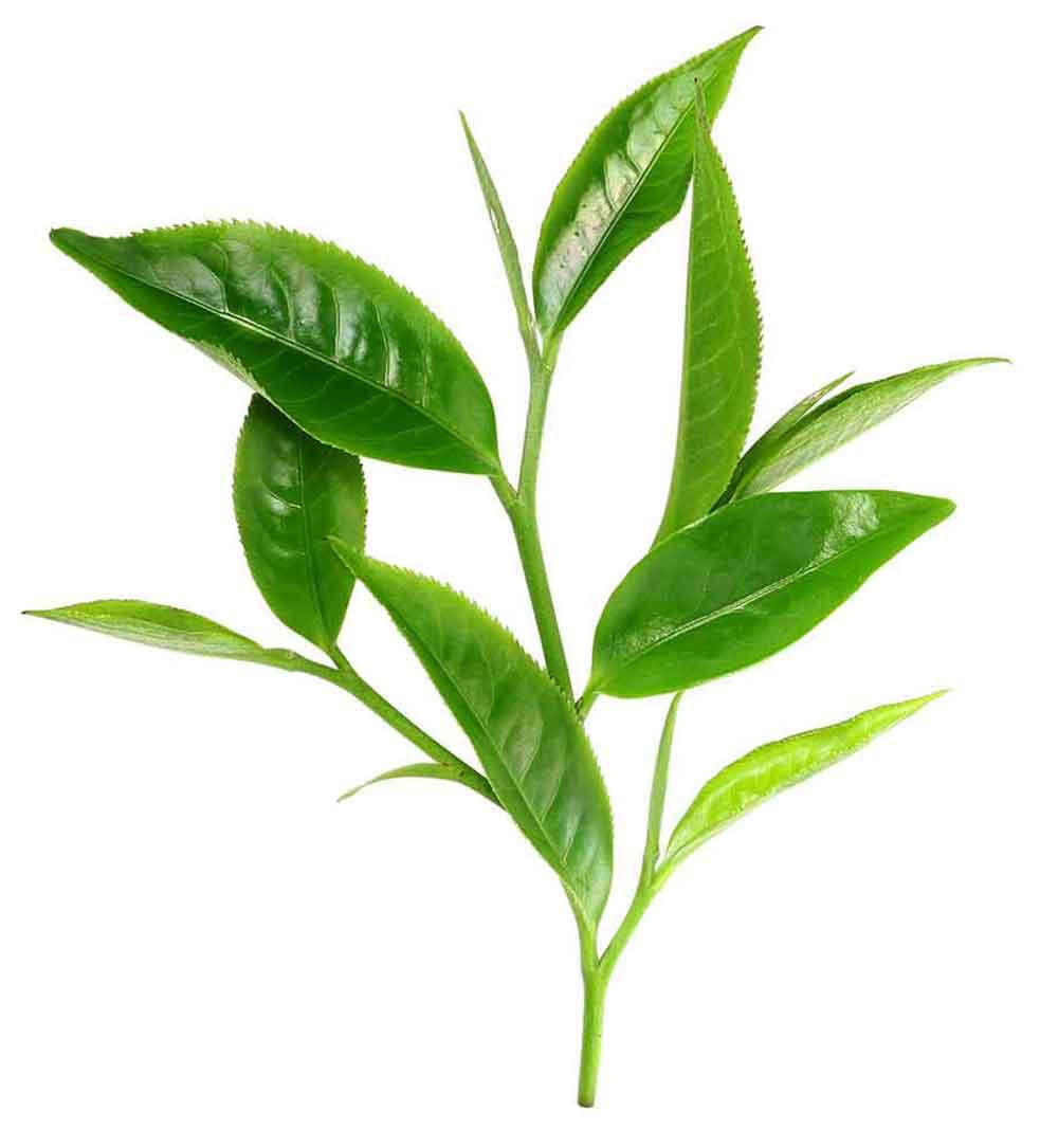 Tea Tree - Noomi® Health